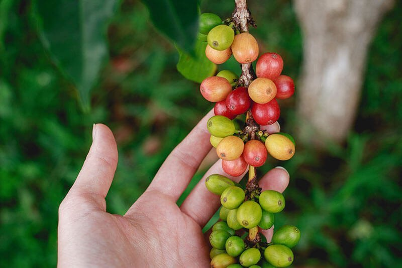 black coffee benefits - arabica coffee plant