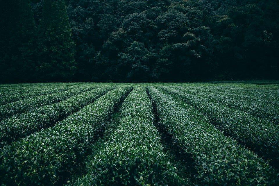 matcha green tea plantation uji