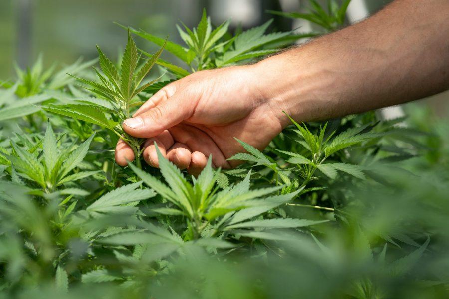 crystalweed cannabis